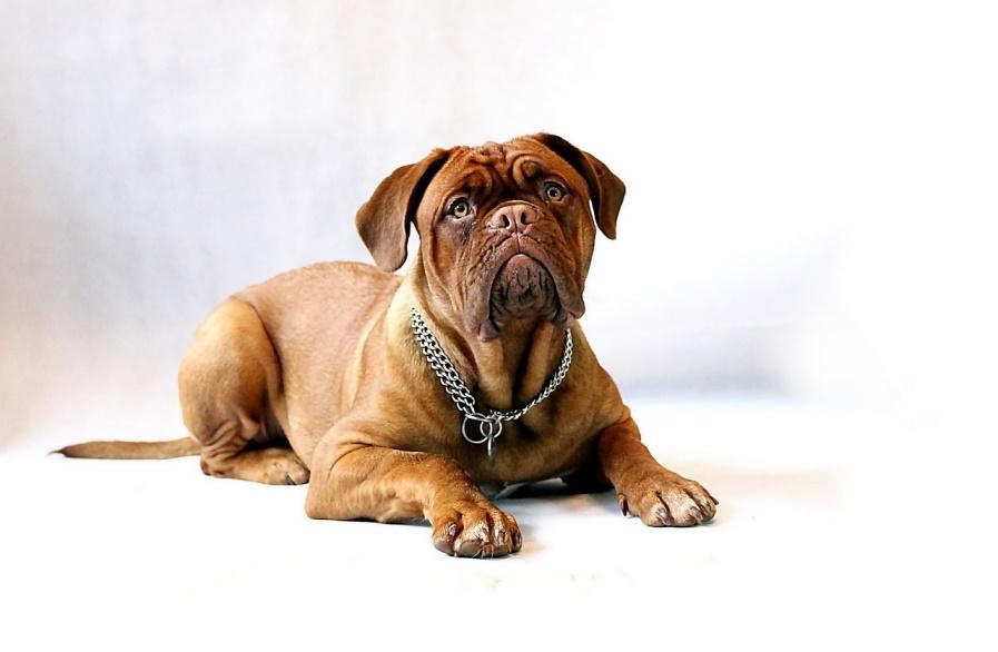 Cão com lombrigas