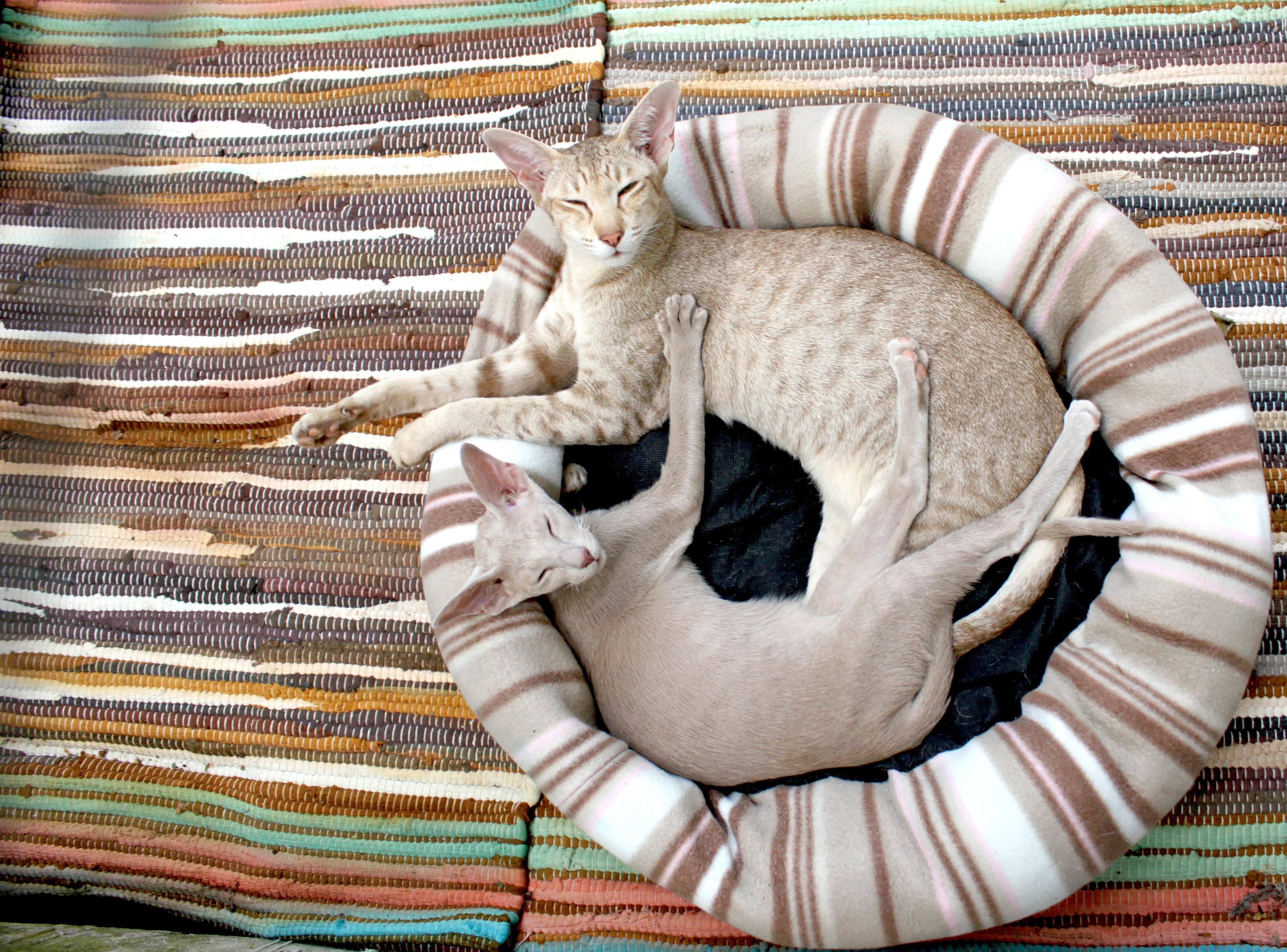 Nova companhia felina para o seu gato