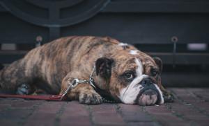 Cães braquicéfalos riscos e cuidados a ter