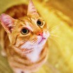 Hipertensão nos Gatos