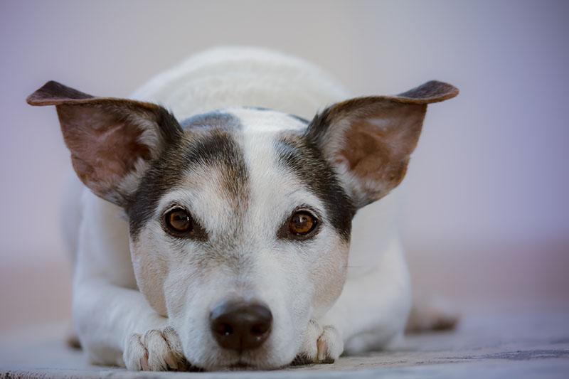Cistite nos cães | Hospital Veterinário de São Bento, Lisboa