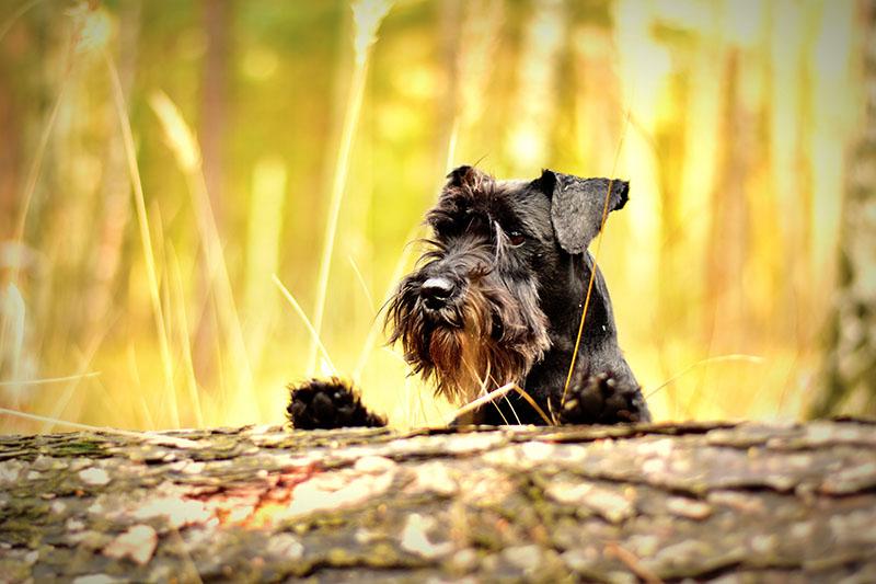 Cães nascidos no Verão mais propensos a sofrer de doenças cardíacas