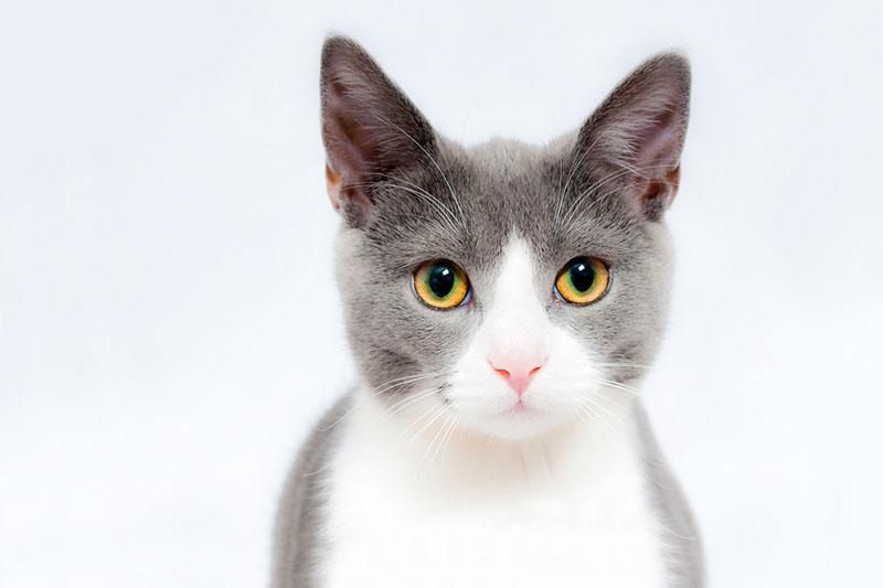 O meu gato mia muito....porquê? | Hospital Veterinário de São Bento